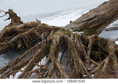 Belarus - A large old tree fell on Minsk Sea ice spread its roots like a terrible hand with fingers tree bark covered with green moss.