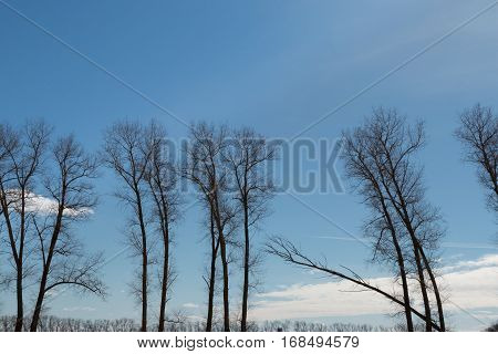 Belarus- A tree leans heavily and stretches to the cloud against the blue sky rare tall trees black trees blue sky white clouds clear weather a long white clouds foreground and background.