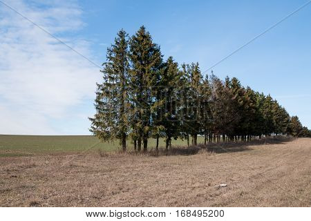 Belarus-  Green spruce falling trees line of the forest forest on the roadsides faded grass green field near the woods.