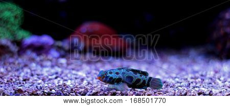 Green Spotted Mandarin Fish in coral reef aquarium tank