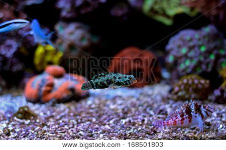 Mandarin fish in coral reef aquarium tank