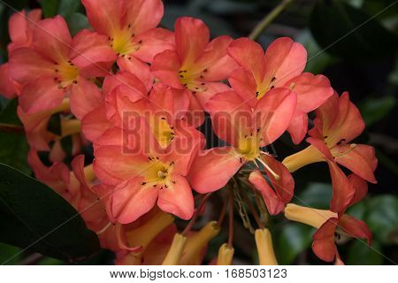 Flaming Rhododendron