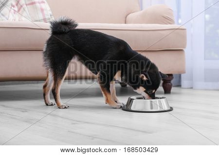 Cute little Shiba Inu dog eating from bowl on floor
