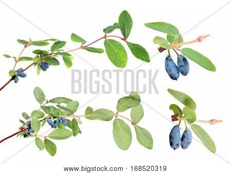 branches with honeysuckle berries isolated on white background