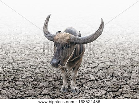 Buffalo tether and stand alone on the cracked soil ground