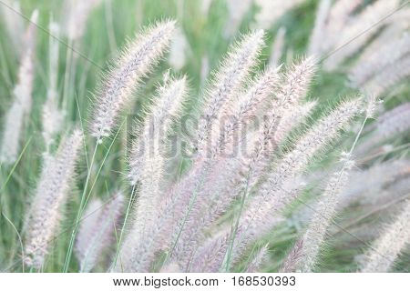 Nature field of soft mission grass (Feather Pennisetum) swaying in the wind with blurred focus in the background.
