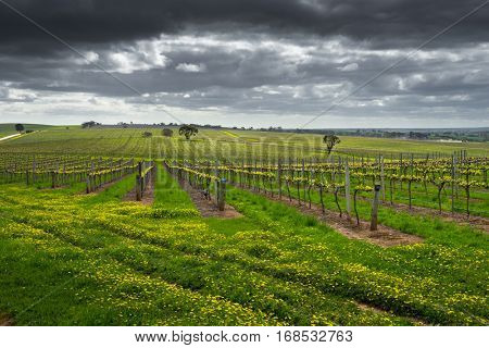 Dark clouds over a vineyard in the Barossa Valley, South Australia