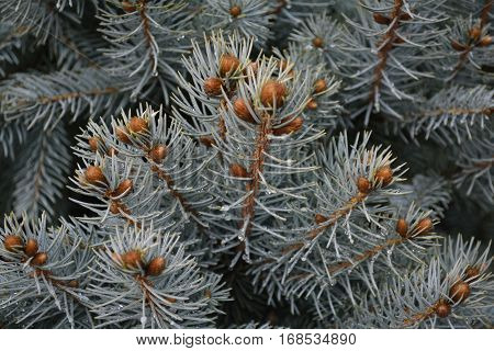 little bumps on the branches of a coniferous tree