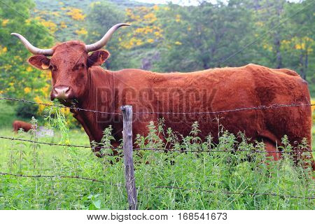 Salers cow in the pasture