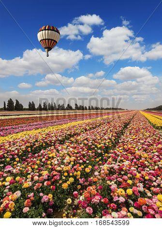 Spring flowering buttercups. Great multi-colored balloon flies over flower field. Flower kibbutz near Gaza Strip