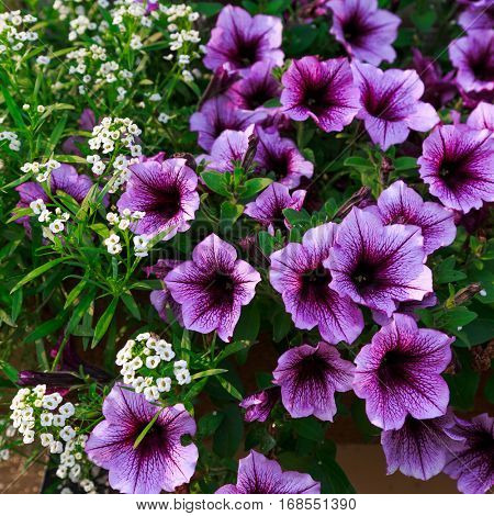 Purple petunias and white alyssum in a window box or planter.