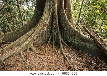 Base of old big tree in tropical evergreen forest which having big root on floor covered by brown leaves.
