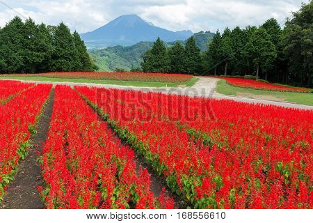 Red Salvia field and mount daisen