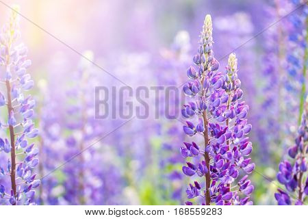 Blooming lupine flowers. A field of lupines. Sunlight shines on plants. Violet spring and summer flowers. Gentle warm soft colors, blurred background.
