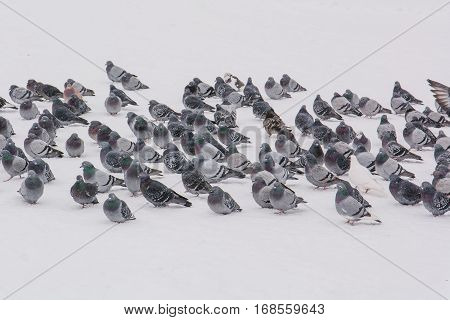 Pigeons on snow in the winter. Pigeons go on snow in the winter