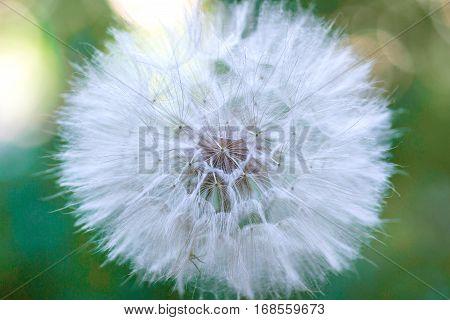 Big bright fluffy dandelion on a green background, blowball.
