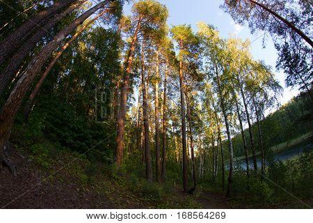 green summer forest blue sky. fisheye lens
