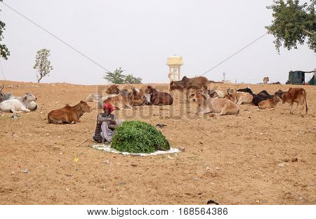 PUSHKAR, INDIA - FEBRUARY 18: Man selling grass stalks to Hindu passersby for them to feed to the cows which are revered by their religion  in Pushkar, India on February 18, 2016.