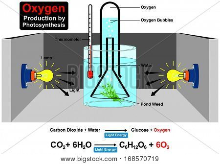 Oxygen Production by Photosynthesis Process Experiment  with chemical formula wit parts lamp water plant pond weed thermometer light bubble carbon dioxide for education science lab chemistry