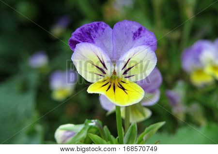 Whiskered viola face. Purple yellow flower in garden.