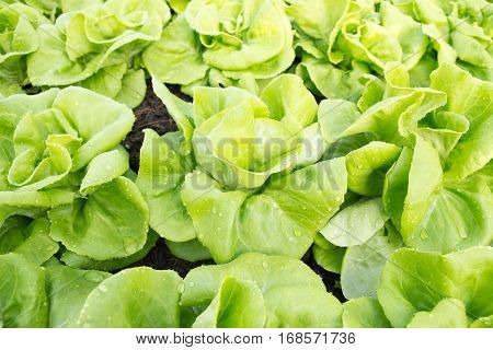 Vegetable Lettuce,Hydroponics field, food vegetable hydroponics green
