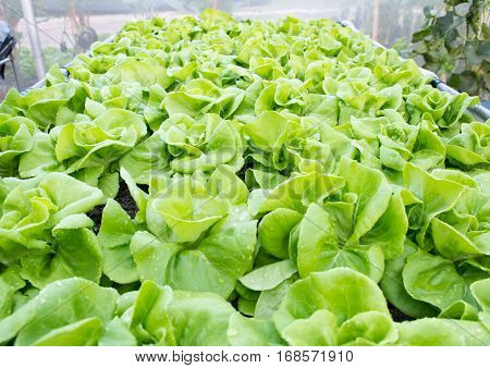 Vegetable Lettuce, Hydroponics field,  vegetable in field, green vegetable  hydroponics