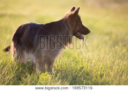 German shepherd dog outdoor