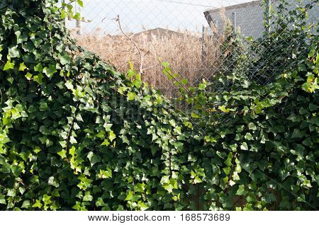 Vines in a metallic fence forming a circle with wheat of bottom