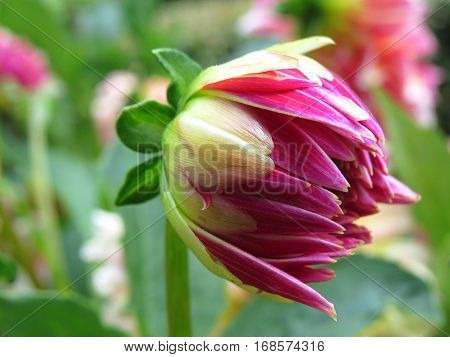 Dahlia flower Asteraceae garden petals close up pink
