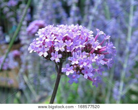 Milkweed pretty flower purple lilac growing in garden