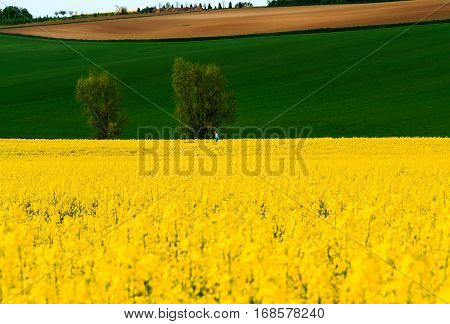 The Yellow and the Green. Hessian landscape with spring fields near Hanau in late afternoon