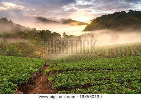 Sunrise At Strawberry Plantation