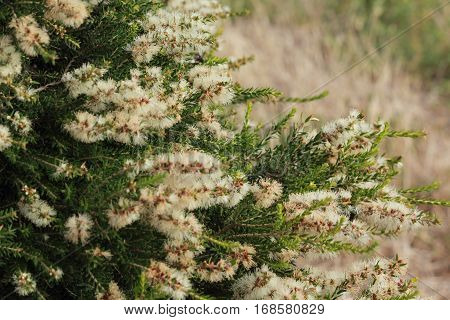 australian native white wild flowers and bees in the nature