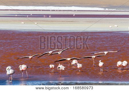 Flying flamingos at Laguna Colorada Altiplano Bolivia