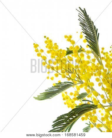 Mimosa flowers  isolated on white background .