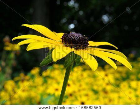Black Eyed Susan. Yellow daisy like flower garden.