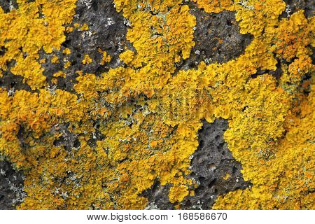 close up of yellow lichen on the rock