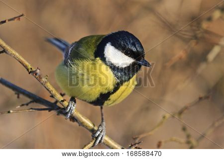 yellow black bird sitting on a branch among bushes, forest bird, bright colors, wildlife