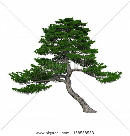 3D rendering of a Japanese pine tree isolated on white background