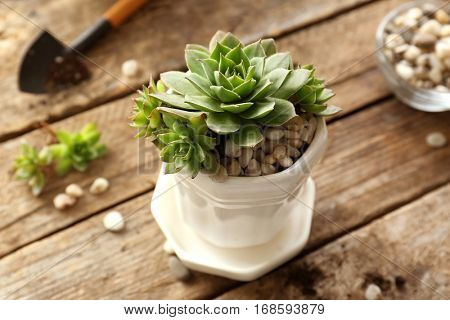 Florist concept. Replanting beautiful succulent on wooden background
