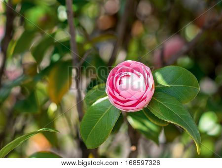 Japanese Camellia. Pink Beautiful Flower Over Green.