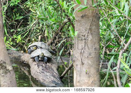 Turtles In The Yacuma River