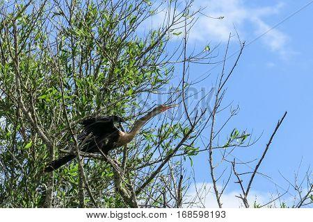 Snake Neck Bird