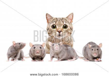 Cat Scottish Straight hunts on rats, isolated on white background