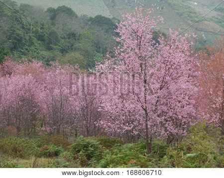 Full Bloom of Himalayan Cherry Blossoms at Mount Phu lom lo in Loei, Thailand
