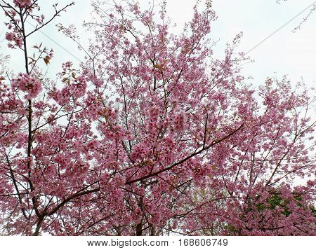 Blooming Pink Himalayan Cherry Blossoms against the sky, Mount Phu lom lo in Loei of Thailand