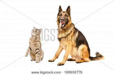 Cat Scottish Straight and German Shepherd dog, isolated on white background