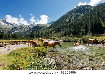 Herd of horses wading the Chiese river in the National Park of Adamello Brenta. Trentino Alto Adige Italy