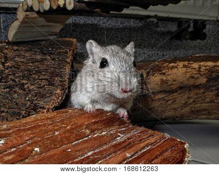 Gerbil on pet house. Gerbil mice are popular pets.