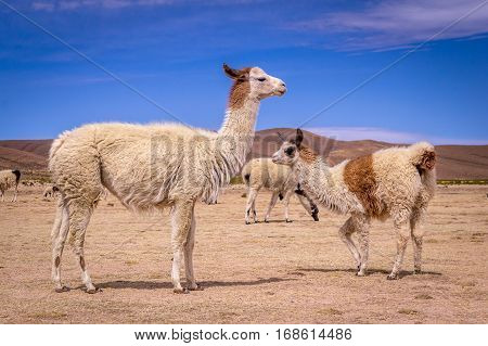 Flock of alpacas in Altiplano. Lamas and alpacas are very popular in Bolivia and Peru for their wool and meat